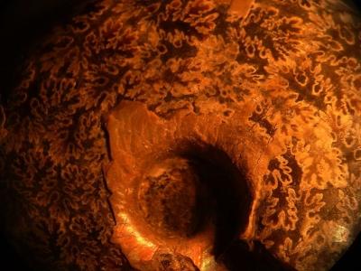 perlmuttisierter Ammonit