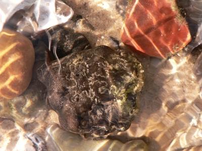 Ammonitenbruchstück unter Wasser