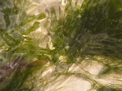 schwebende Algen