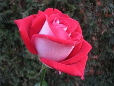 rote Rose -2