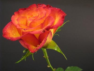 noch eine Rose...