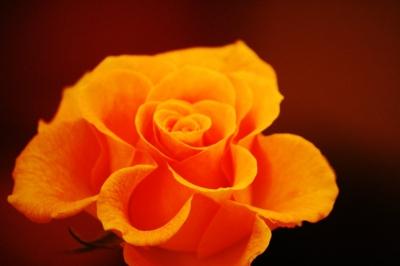 Rose im warmen Licht