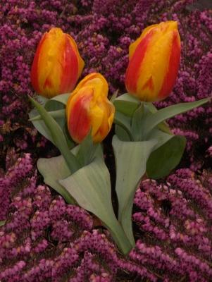 Drei hübsche kleine Tulpen