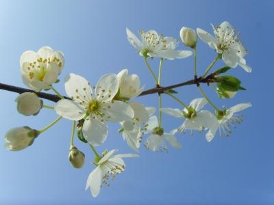 Kirschpflaumenblüten (Prunus cerasifera)
