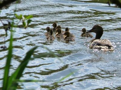 Entenfamilie unterwegs auf dem Schupfenteich