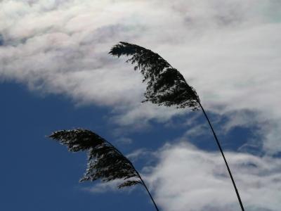 Schilf im Himmel