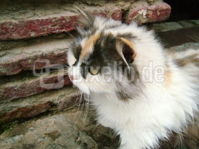 spanische Katze