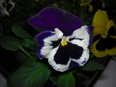 Blume / 11
