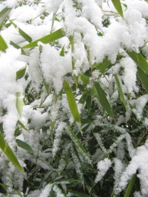 Bambusgras im Schnee