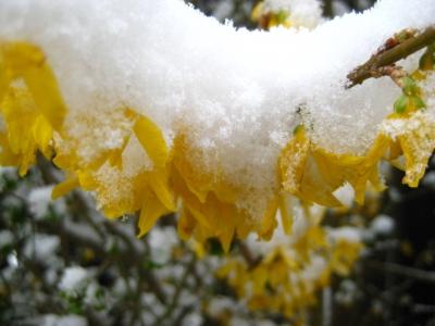 Forsythie blühend im Schnee