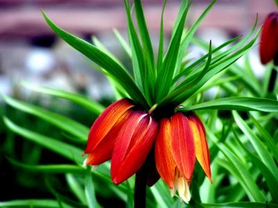 Blütentraube orange