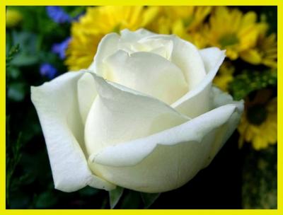 Rosen Königin