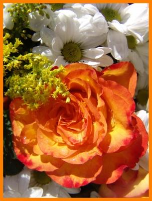 Rosen Blüte