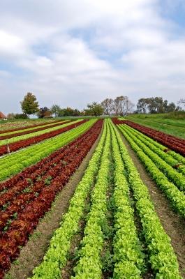 Gemüseanbau in Reih' und Glied