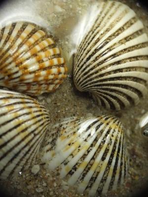 Vier Muscheln im Wasser