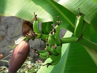 Bananen aus Südostasien