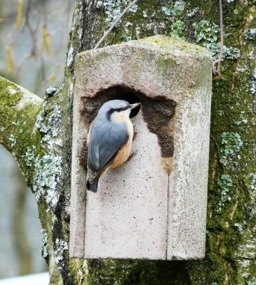 Kleiber beim Nestbau I