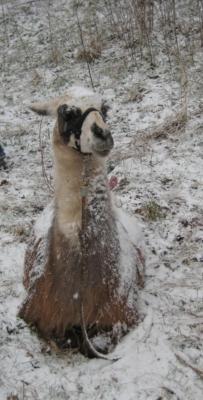 Lama im Schnee