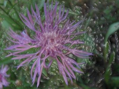 folierte lila Blume