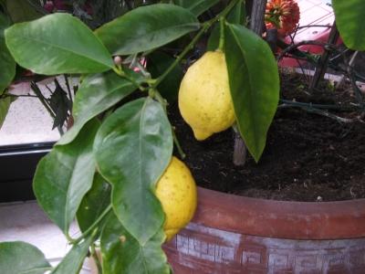 Zitronenbaum in Emmerich