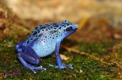 Dendrobates azureus Blueboy10