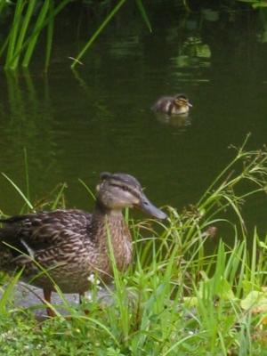 Entenmutter mit Kind