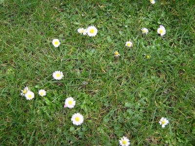 Gänseblümchen im Winterrasen