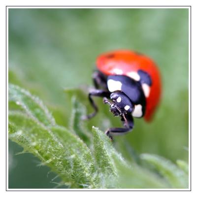 Käfer auf Raubzug