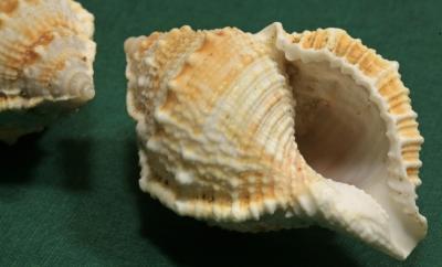 Muschel-Fundstücke