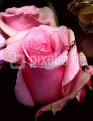 Röschen rosarot