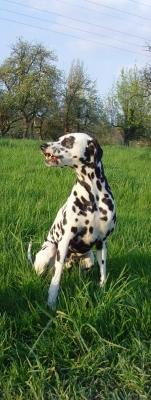 Lachender Dalmatiner