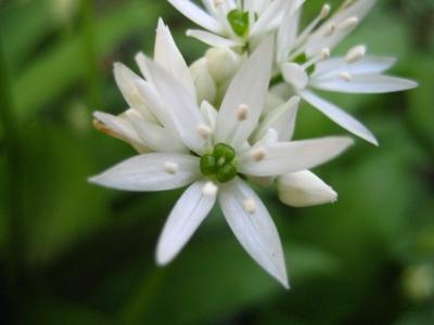 weiße Blüten 3