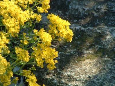 steinbrech