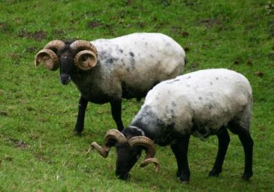Gehörnte Schafböcke