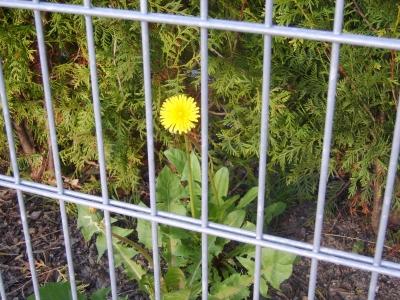Löwe(nzahn) gehört hinter Gitter