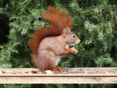 Eichhörnchen #005