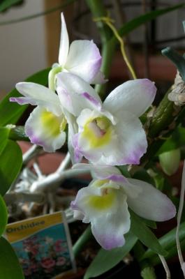 Orchidee