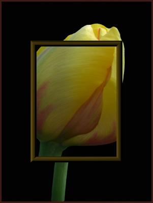 Tulpe ...unter der Lupe
