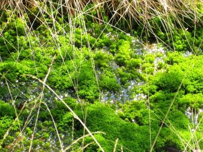 Leuchtendgrünes Torfmoos