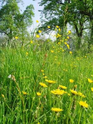 Frühlings-Streuobstwiese
