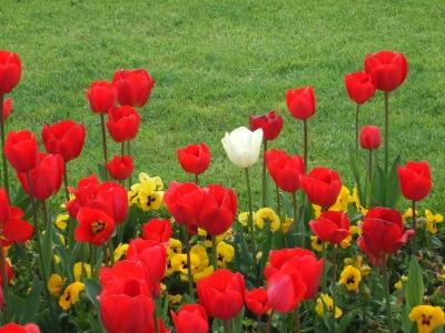 tulpenrotweiß
