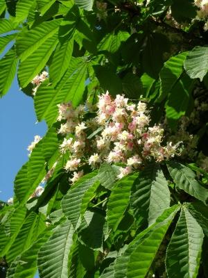 Weißblühende Rosskastanie