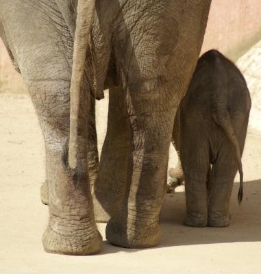 Elefanten Groß-Klein