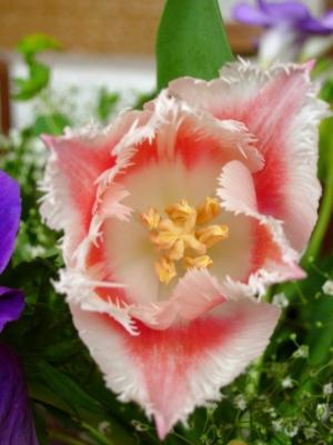 voll erblühte Tulpe
