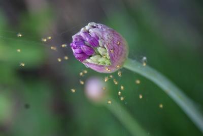 Kleine Spinnen auf Zierlauch
