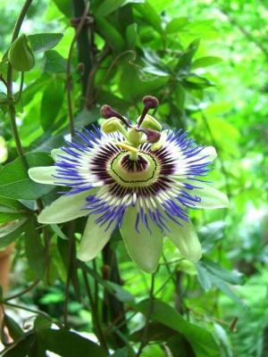 Omas Passionsblume im Garten