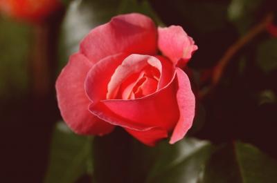verträumtes rosa