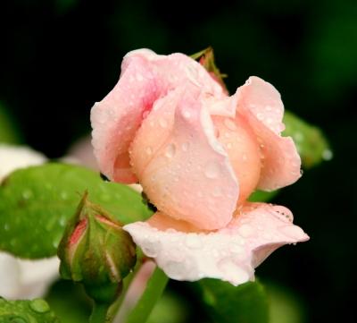 """""""Wasserrose"""""""
