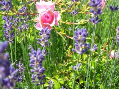 Heckenrose im Lavendelbeet