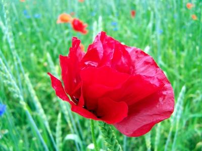 Rote Schönheit 8